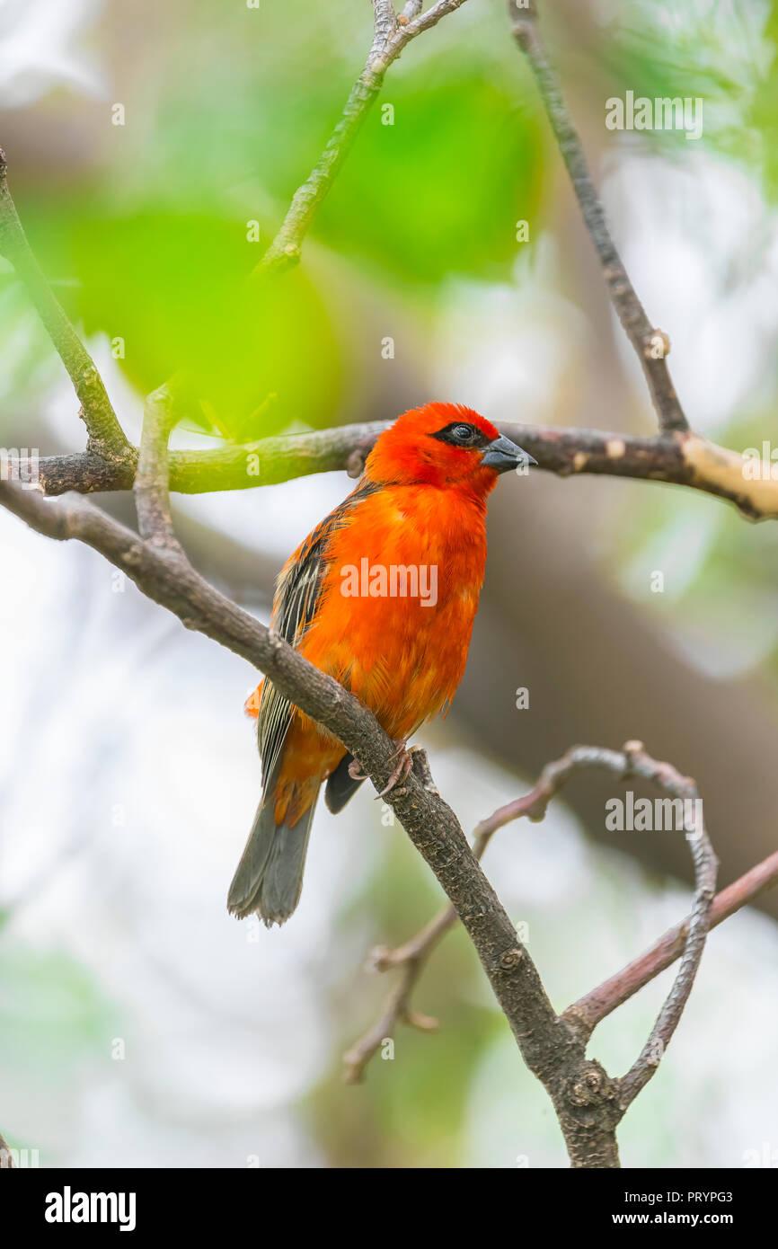 Mauritius, red fody, Foudia madagascariensis, perching on twig - Stock Image