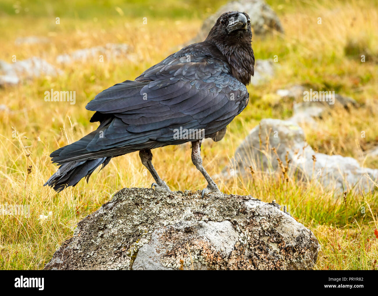 Raven, Common, Eurasian raven (Corvus corax) perched on lichen covered rock in the English Lake District. UK.  Horizontal. - Stock Image