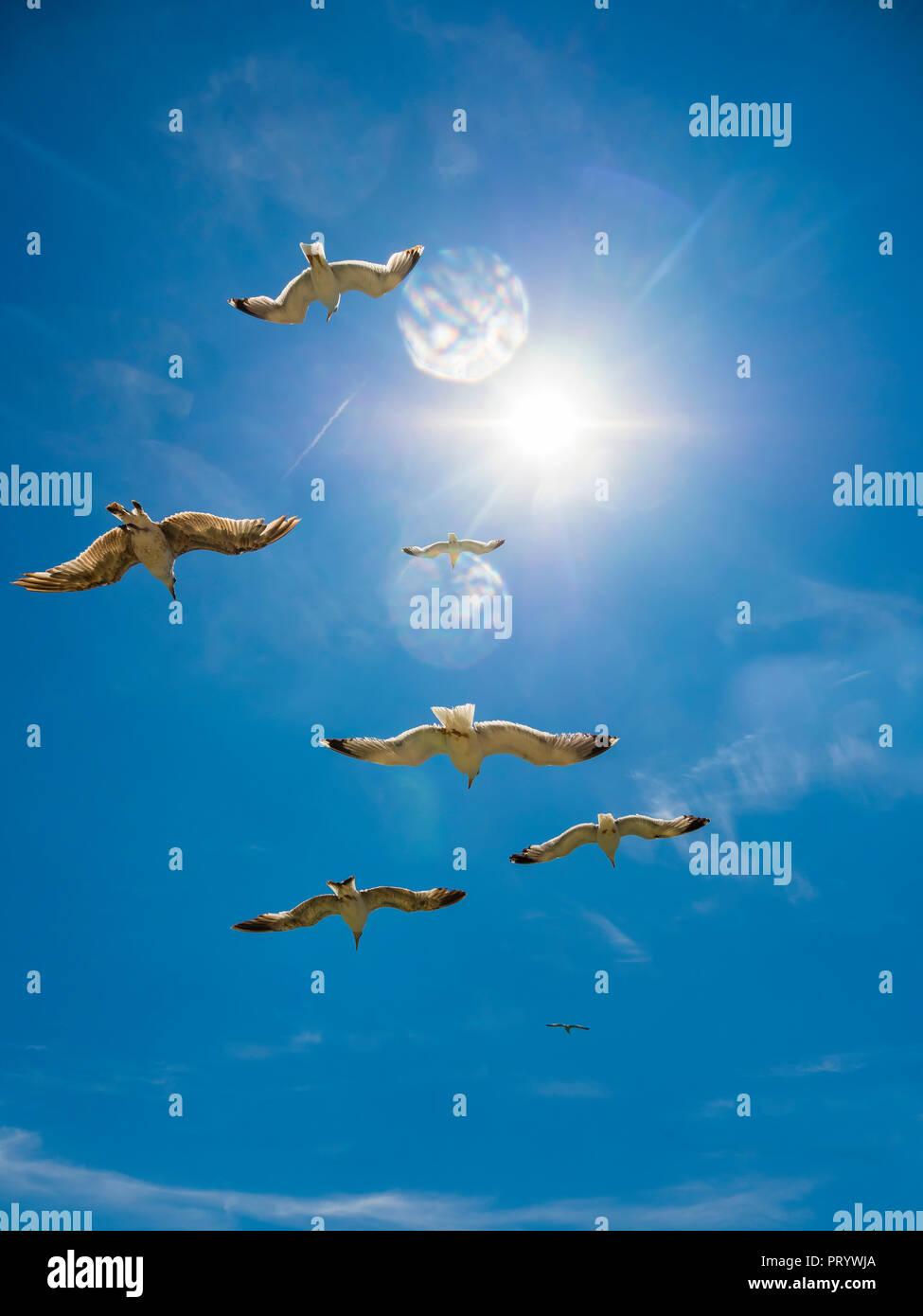 Flying herring gulls - Stock Image