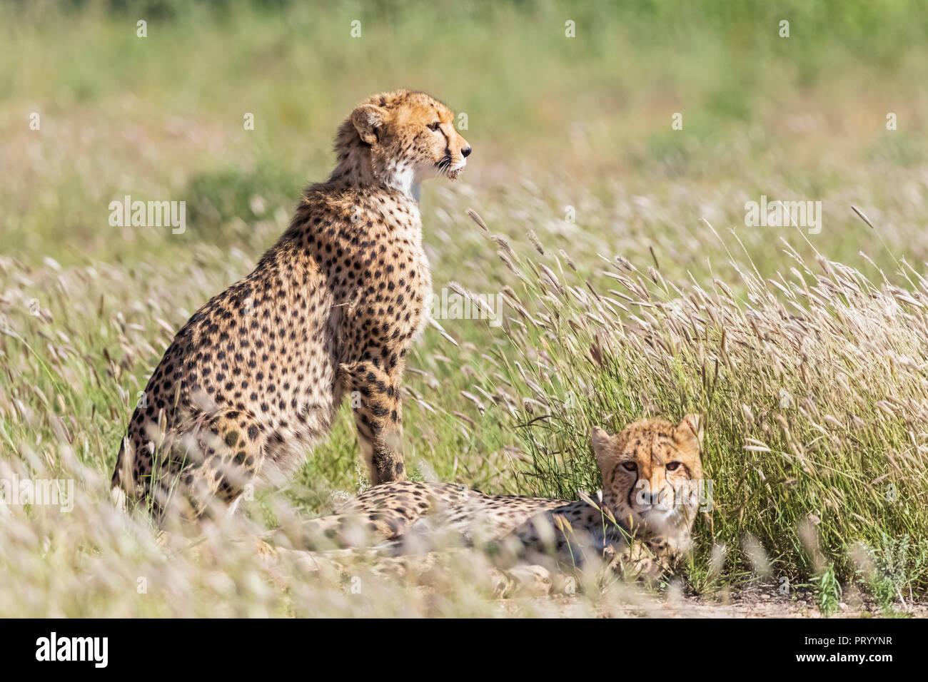 Botswana, Kgalagadi Transfrontier Park, Cheetahs, Acinonyx Jubatus - Stock Image