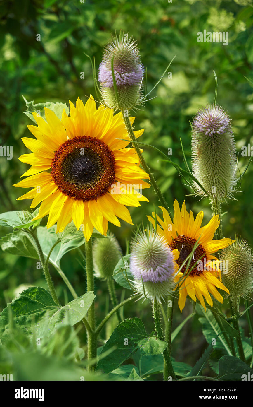 Sunflowers and Fuller's Teasels - Stock Image