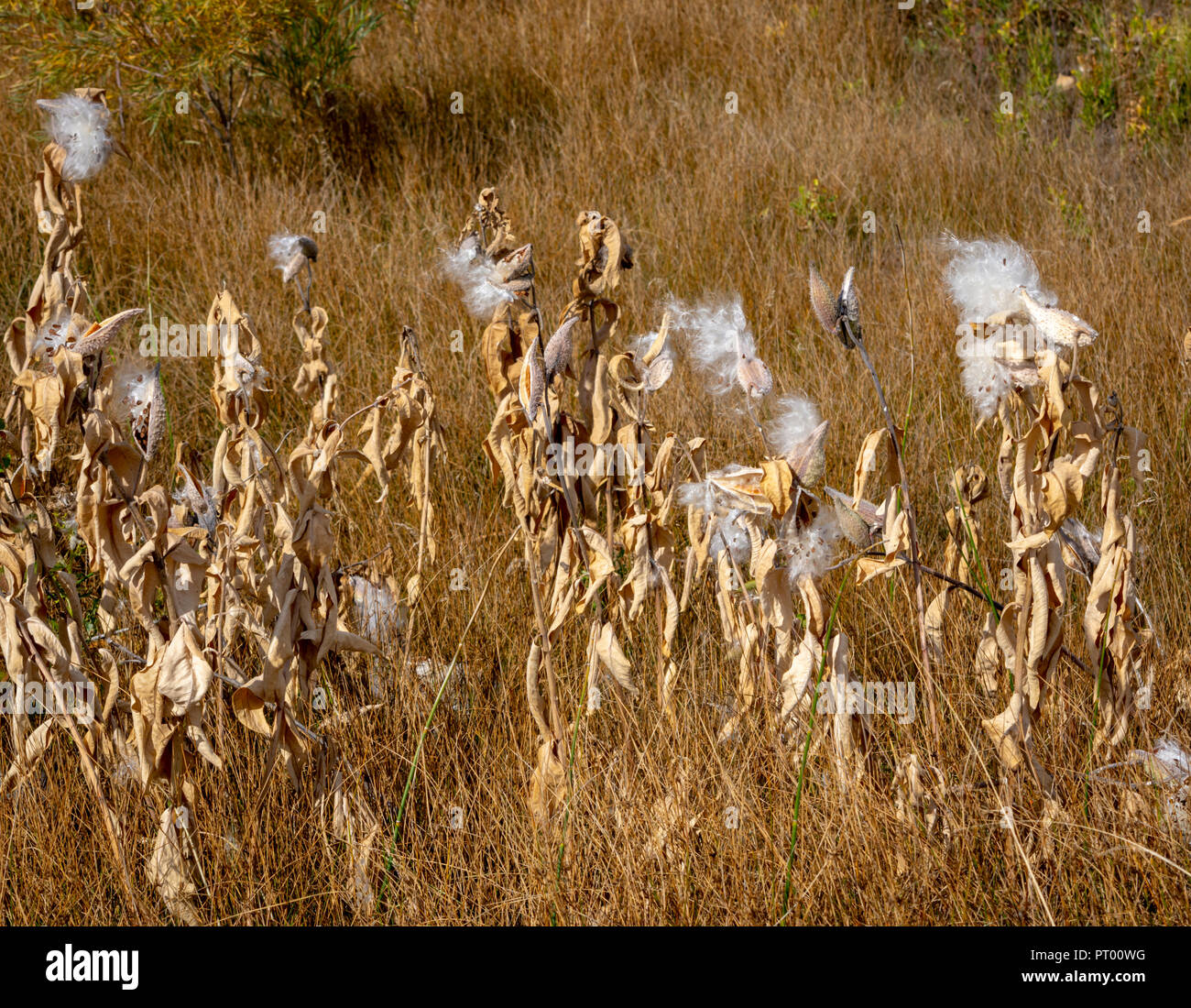 Showy Milkweed (Asclepias speciosa) plants dispersing seeds from pods in October, Castle Rock Colorado US. - Stock Image