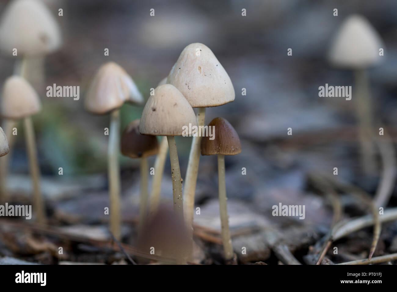 Fruiting bodies of mushrooms. Fungi close up. Mycology concept. - Stock Image