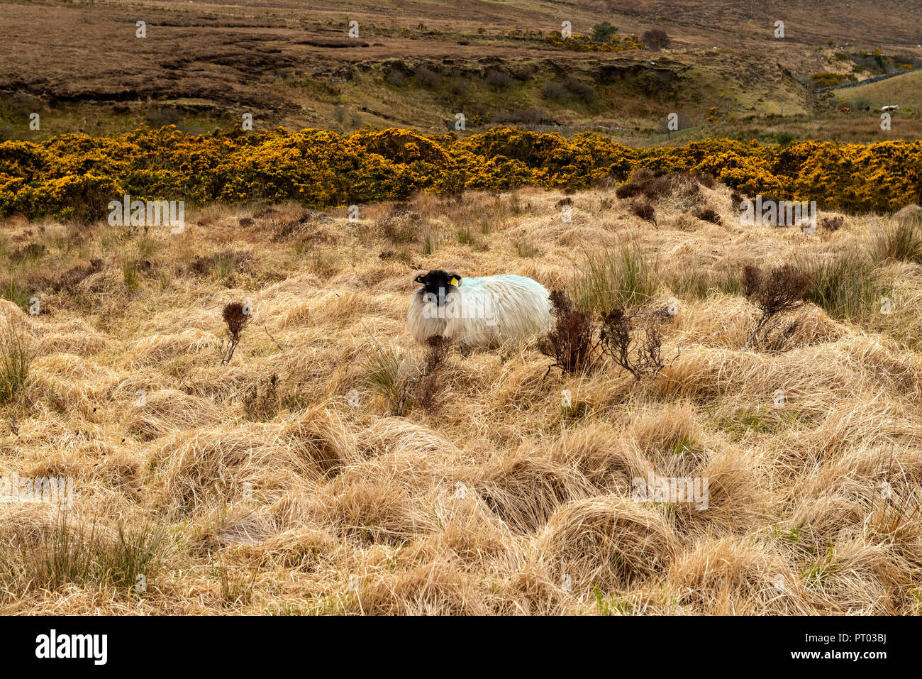 Europe, Ireland, Galway, Sheep grazing on the Irish peatland, or blanket bog as it is often called. - Stock Image