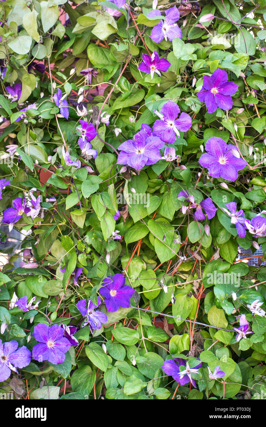 Beautiful Bush With Blue Flowers Of Clematis In The Street Stock