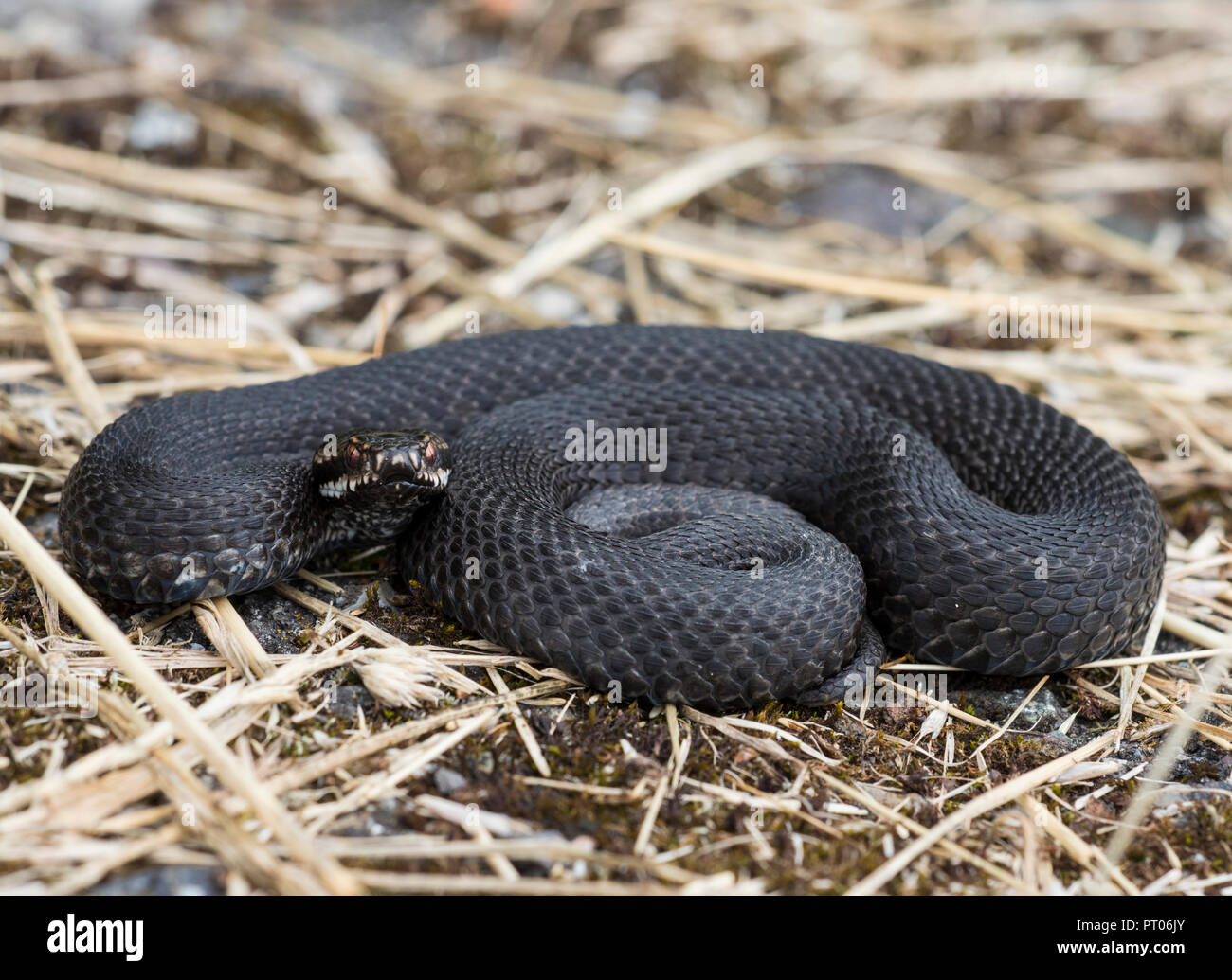 Male Adder Vipera berus curled up basking in grass in the Peak District England - Stock Image