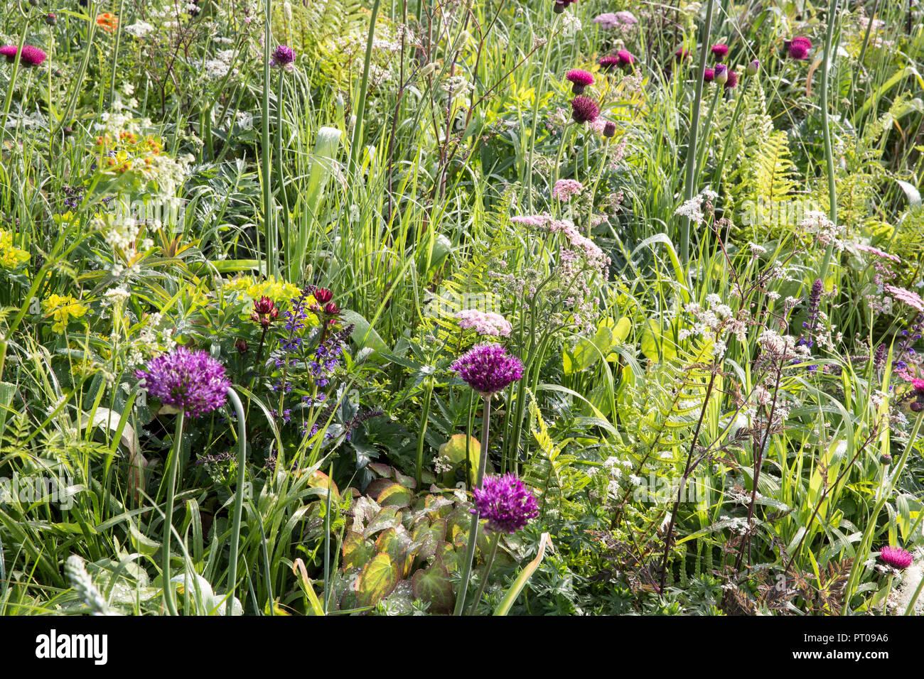 Meadow style planting of Allium hollandicum 'Purple Sensation', Cirsium rivulare 'Atropurpureum', Myrrhis odorata, Euphorbia, Orlaya grandiflora, Aqui - Stock Image