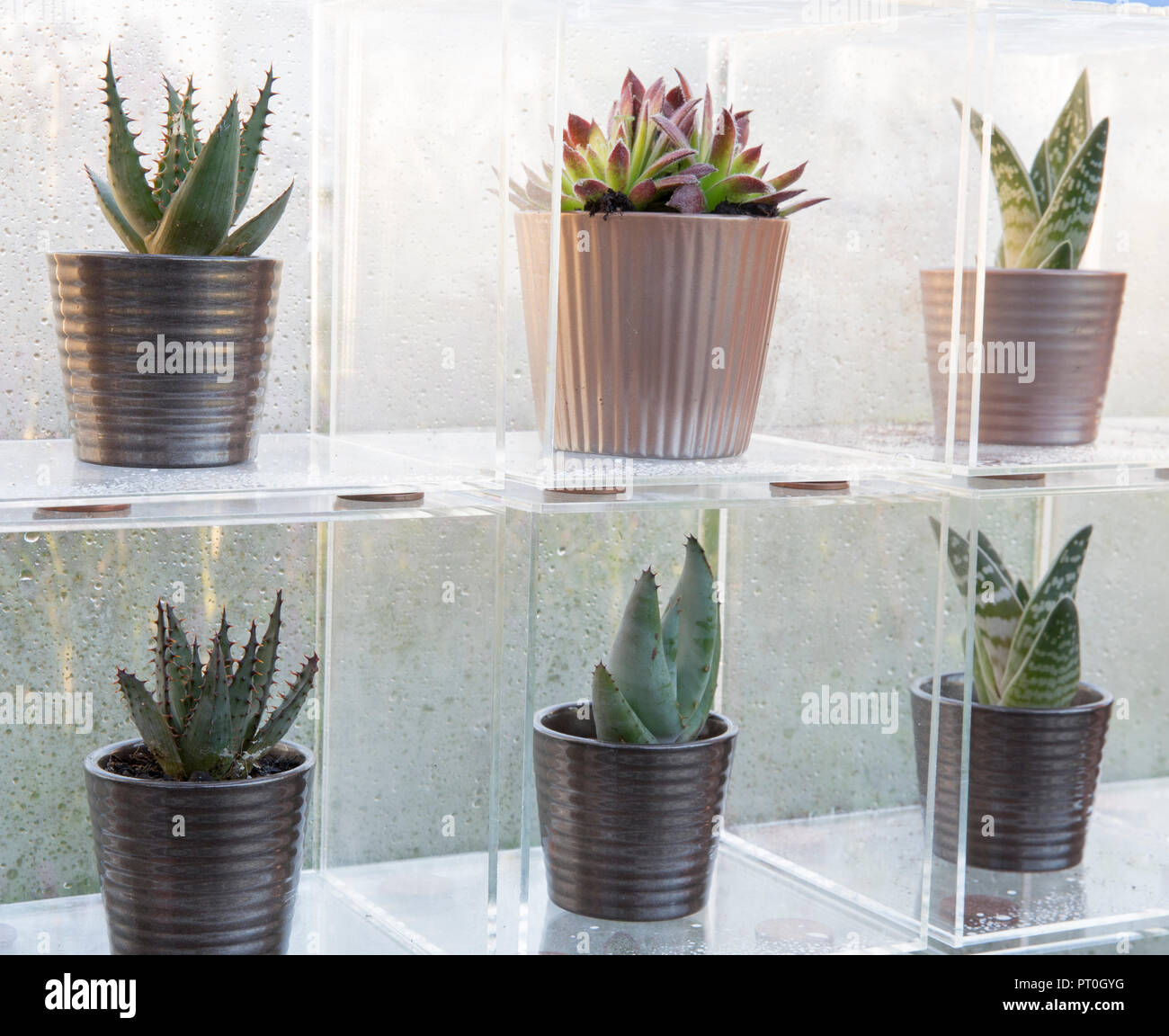 Perspex boxes displaying a collection of succulents growing in ceramic plant pots, Sempervivum, Aloe 'Paradisicum', At Home, Grow, Dine, Relax, RHS Ma Stock Photo