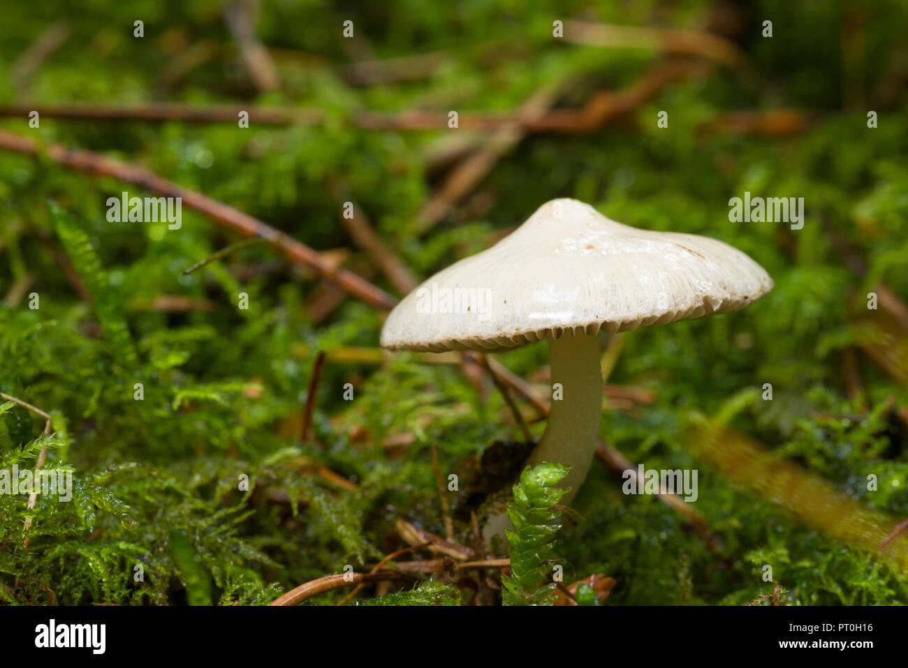 White Fibercap (Inocybe geophylla) mushroom also known as Earthy Inocybe. Common White Inocybe and White Fibercap. Stockhill Wood, Somerset, England. - Stock Image