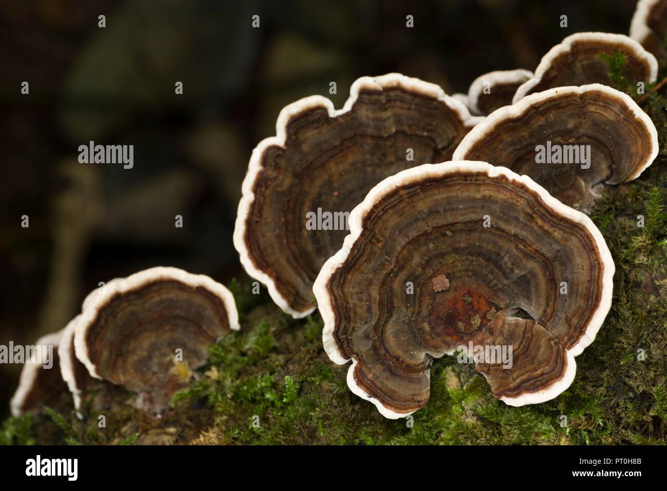 Turkey Tail (Trametes versicolor) shelf fungus. Goblin Combe, North Somerset, England. - Stock Image