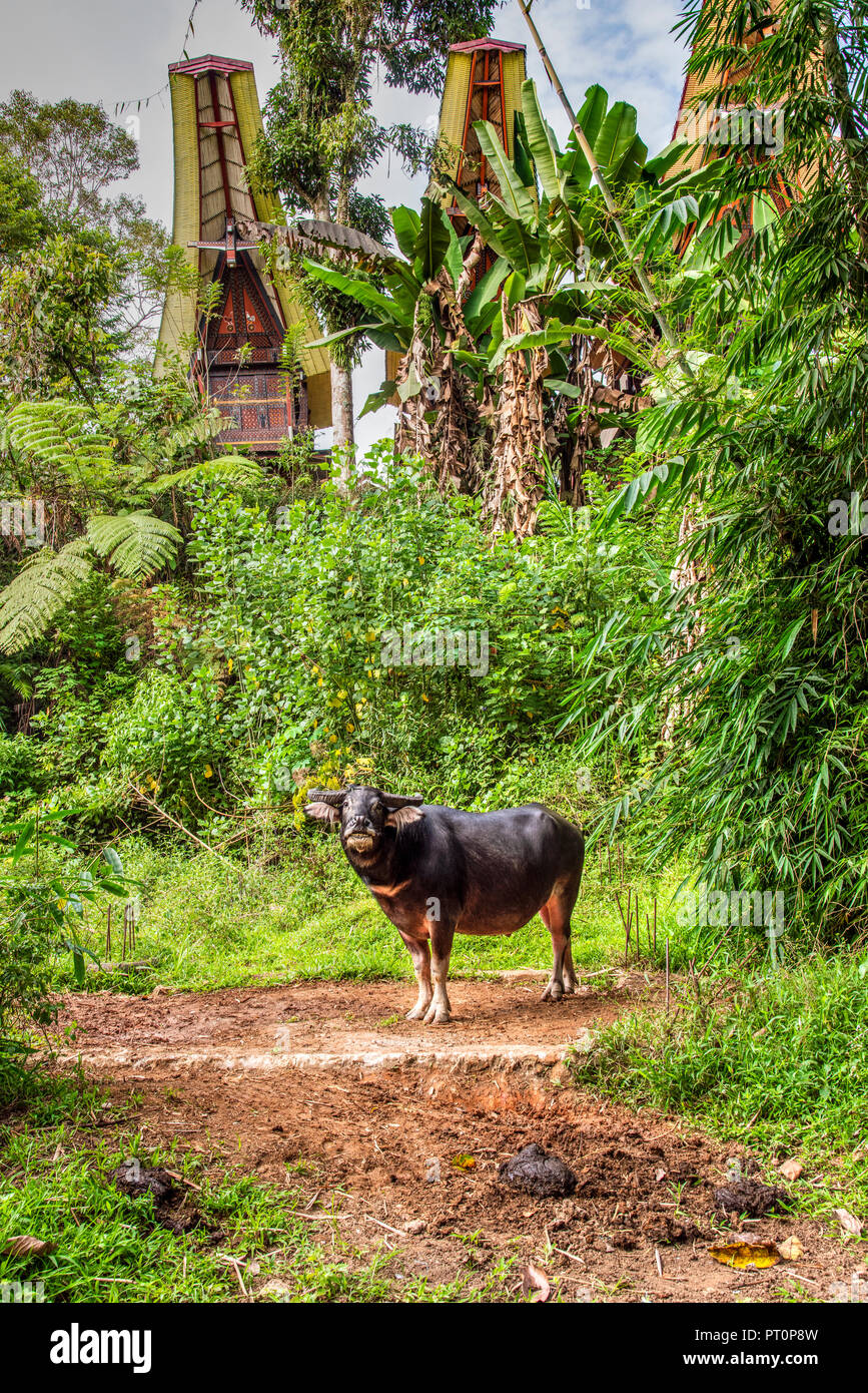 Water buffalo or Bubalus bubalis, Rantepao, Tana Toraja, Sulawesi, Indonesia - Stock Image