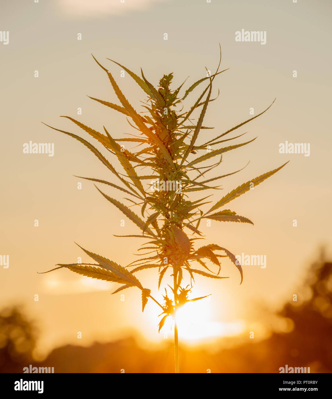 field cultivated with Indian hemp - Stock Image