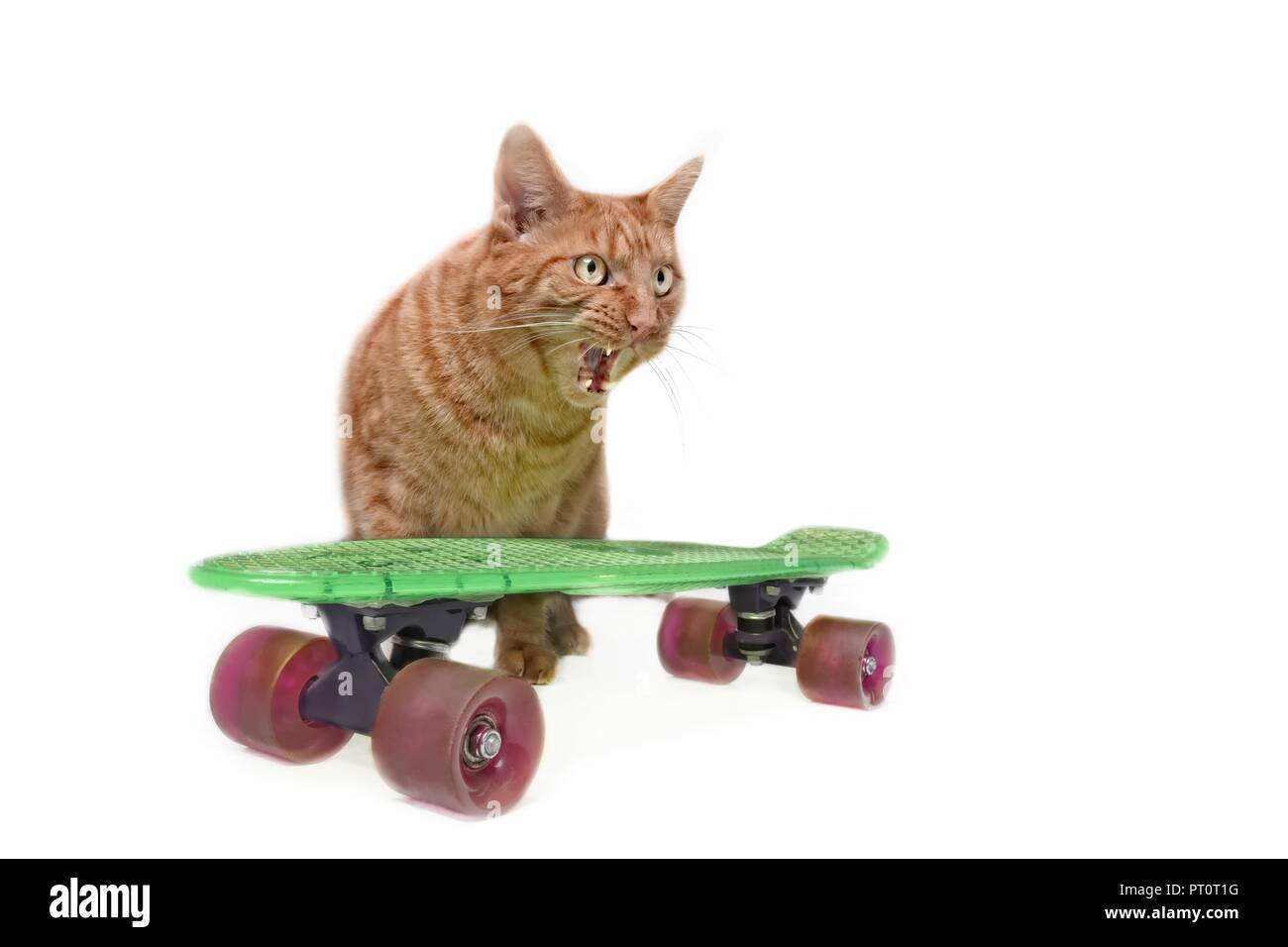 Angry ginger cat looking sideways and hissing with mouth open beside a skateboard. - Stock Image