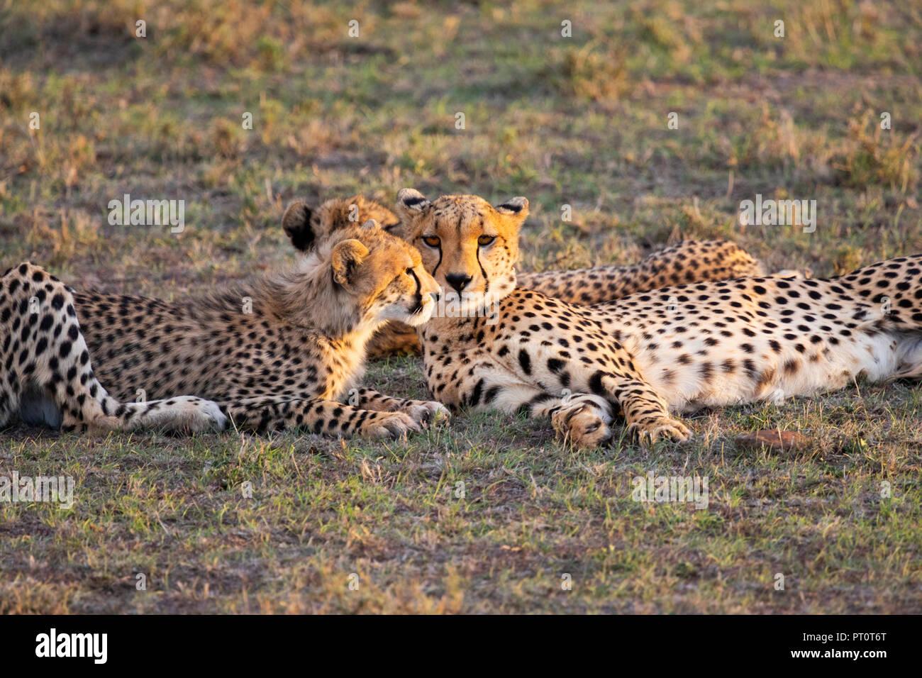 MAASAI MARA NATIONAL RESERVE, KENYA, AFRICA: Cheetah and cubs lying down on the savannah in evening sunlight at the Naboisho Cons Stock Photo