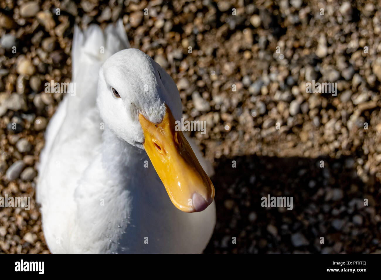 High angle portrait of an American Pekin Duck (Anas platyrhynchos domesticus) - Stock Image
