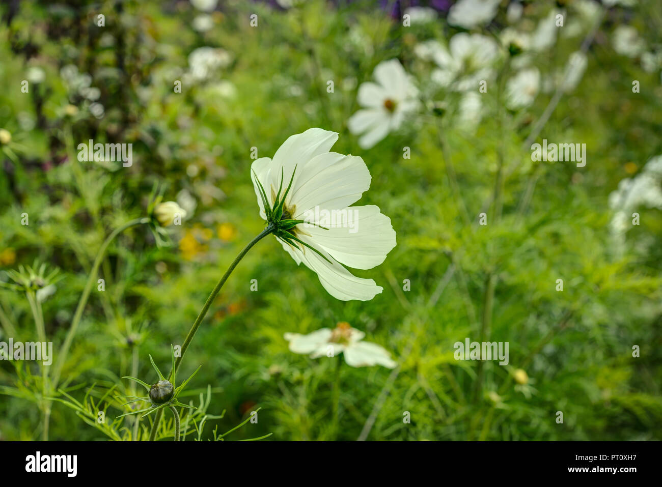 This Is A Sharply Rendered Picture Of A Beautiful White Cosmos