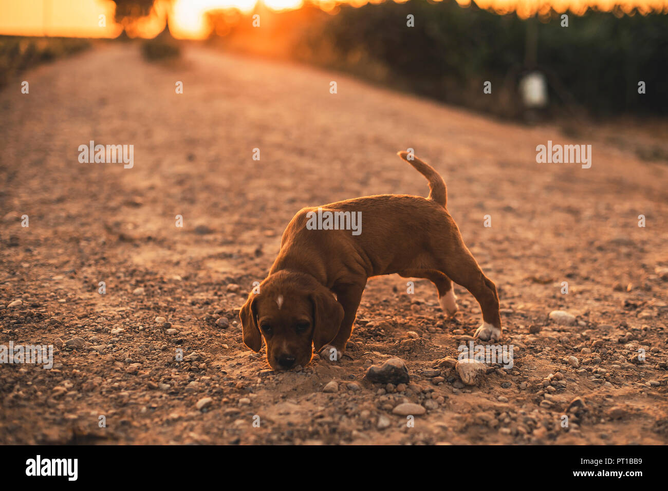 Brown puppy standing on a path smelling something at sunset - Stock Image