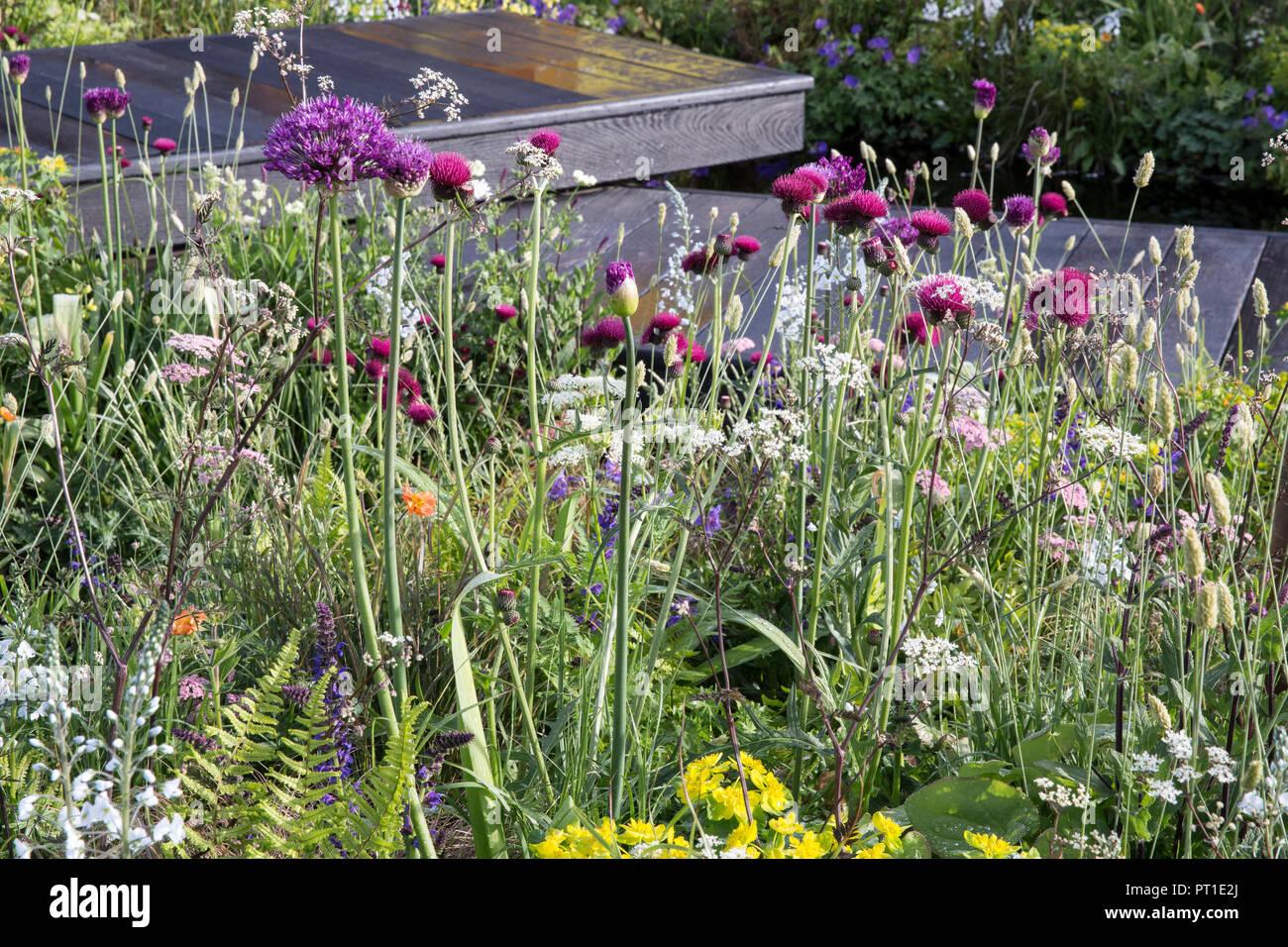 Dark wood deck boardwalk, Meadow style planting of Allium hollandicum 'Purple Sensation', Cirsium rivulare 'Atropurpureum', Myrrhis odorata, Euphorbia - Stock Image