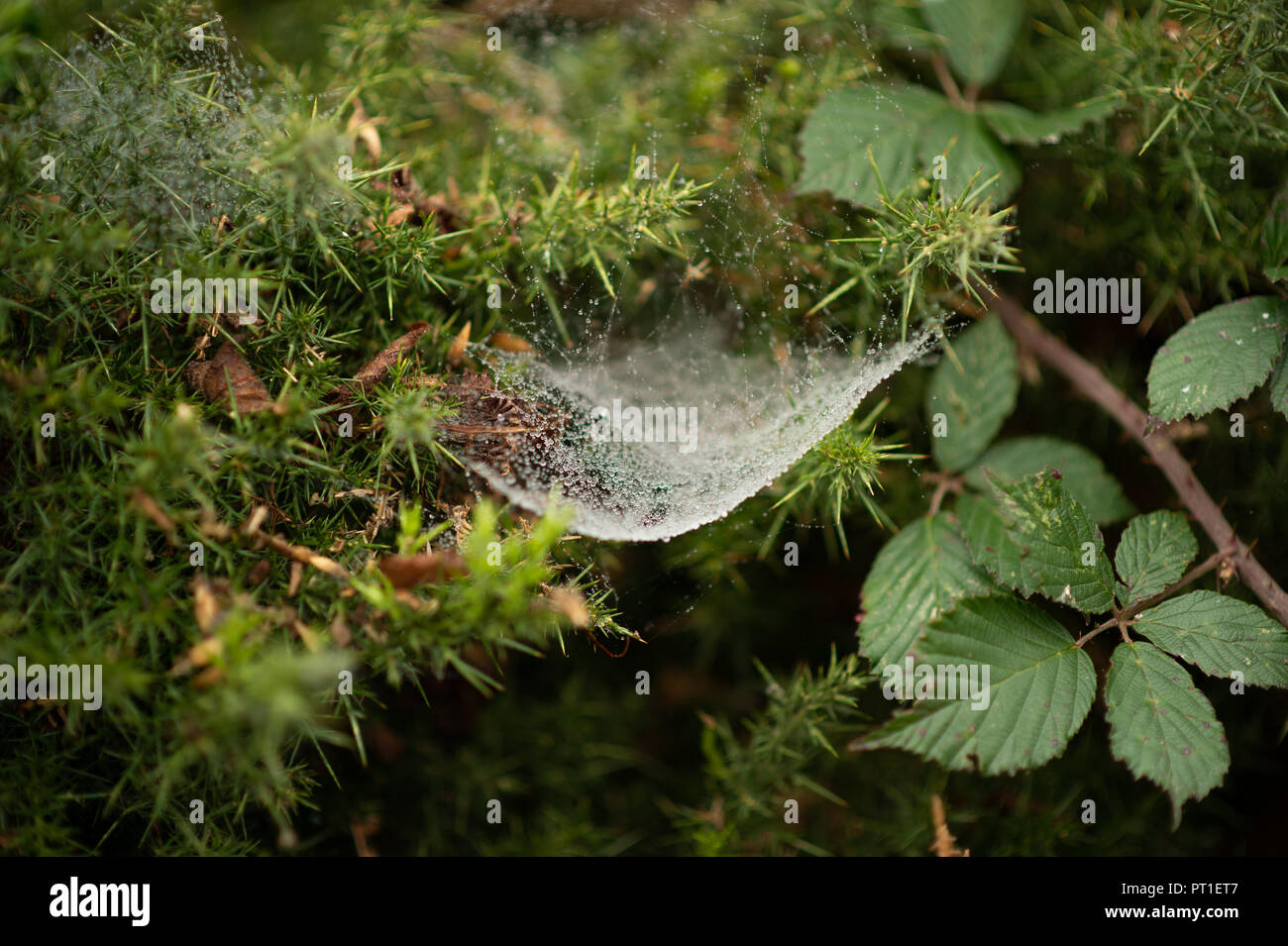 white spiders webs laden with heavy water droplets of recent rain link mini trampolines ready to trap the unwary prey suspended in prickly gorse. - Stock Image