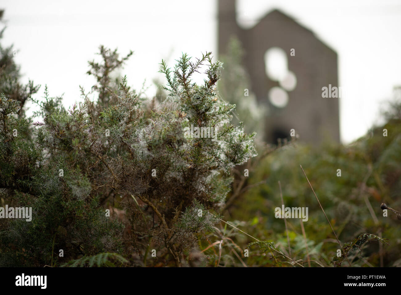Branches of prickly gorse covered in many spiders' webs holding the droplets of recent rain against a dull sky and soft focus Cornish Tin Mine. - Stock Image