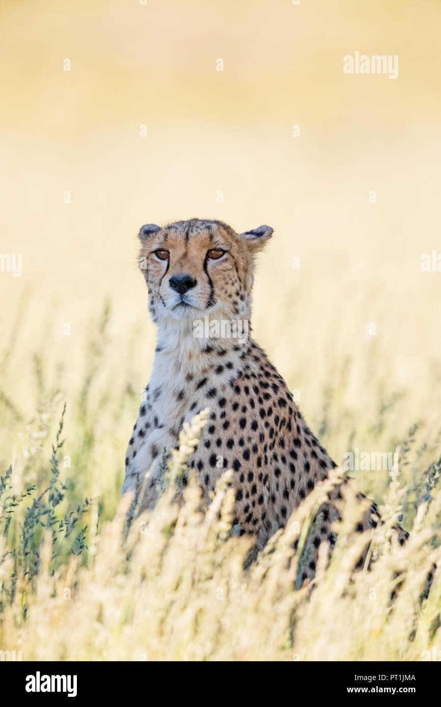 Botswana, Kgalagadi Transfrontier Park, Cheetah, Acinonyx Jubatus - Stock Image