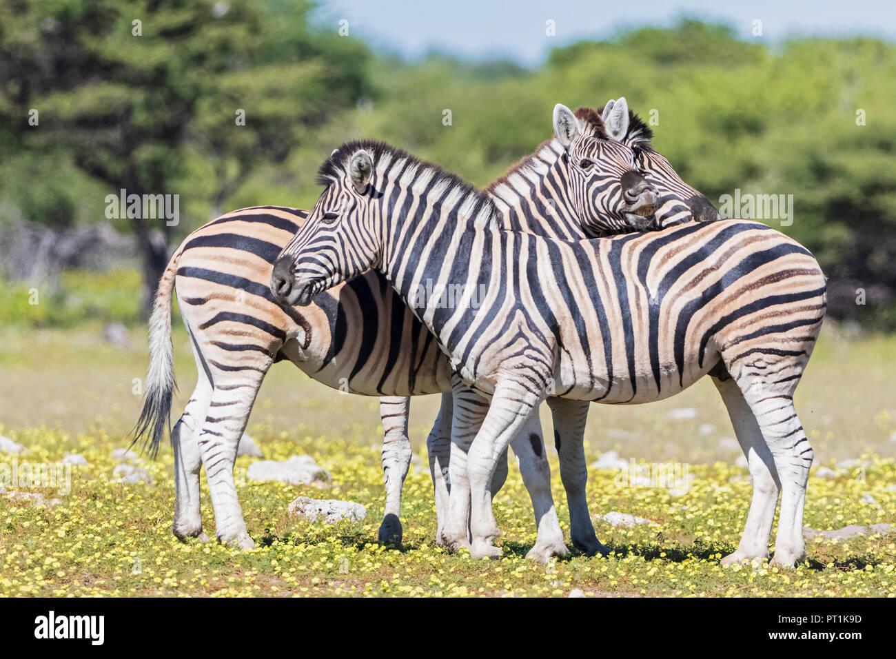 Africa, Namibia, Etosha National Park, burchell's zebras, Equus quagga burchelli - Stock Image