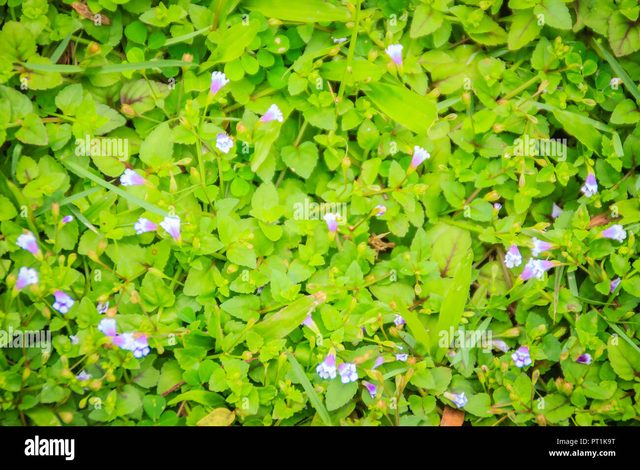 Beautiful Top View Of Green Grass With Small White Purple Flowers
