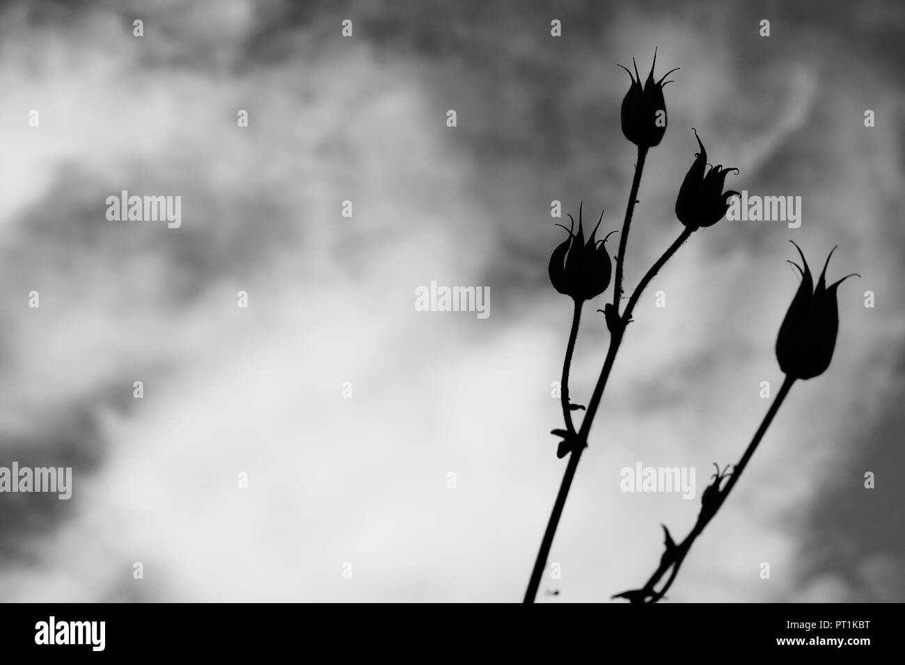 Seed pods on top of long stems in a garden. - Stock Image