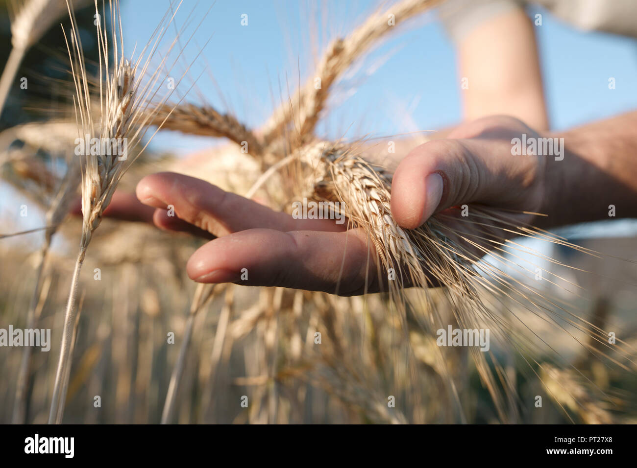 Man's hands holding wheat ears - Stock Image