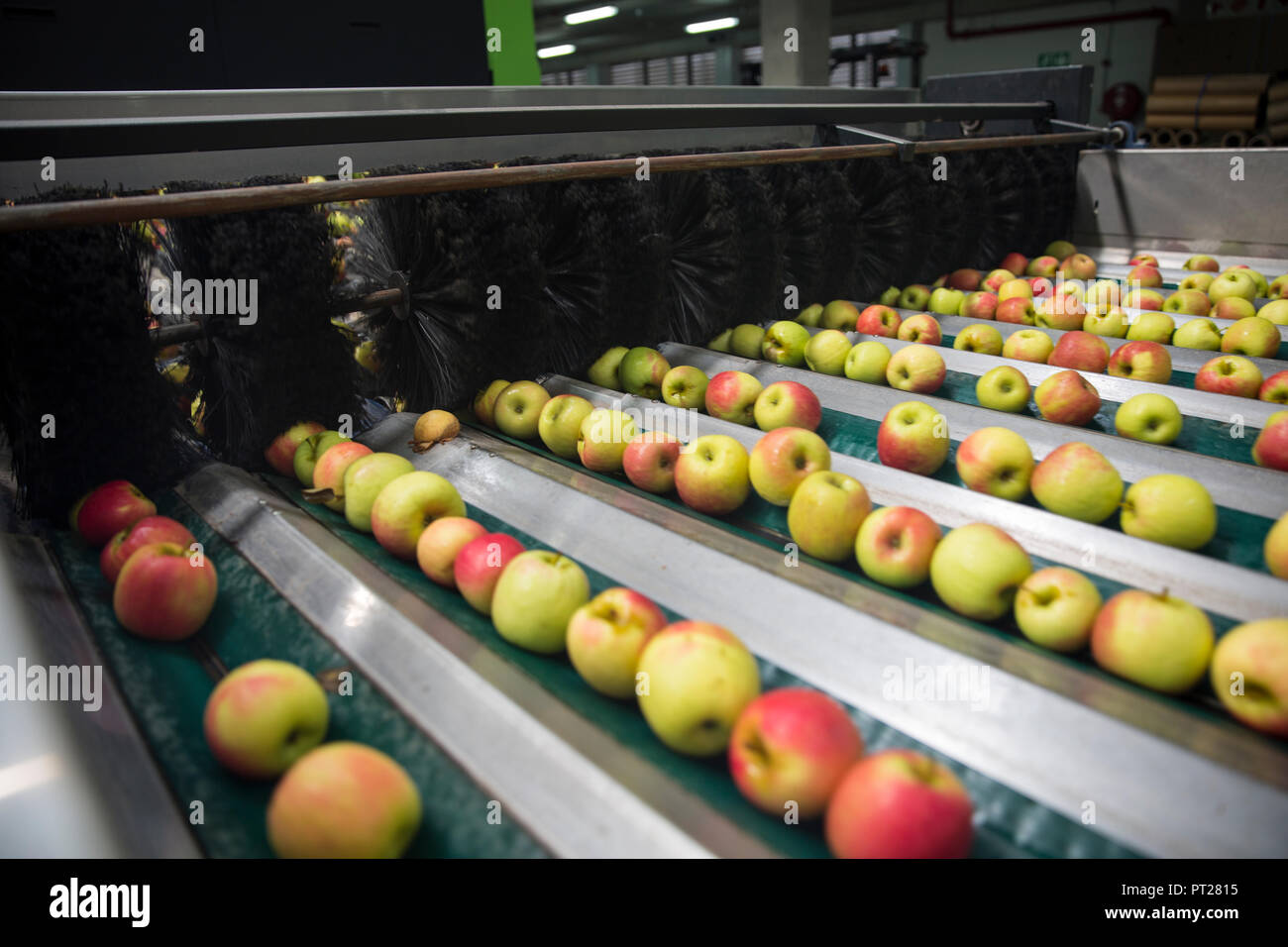 Apples being sorted - Stock Image