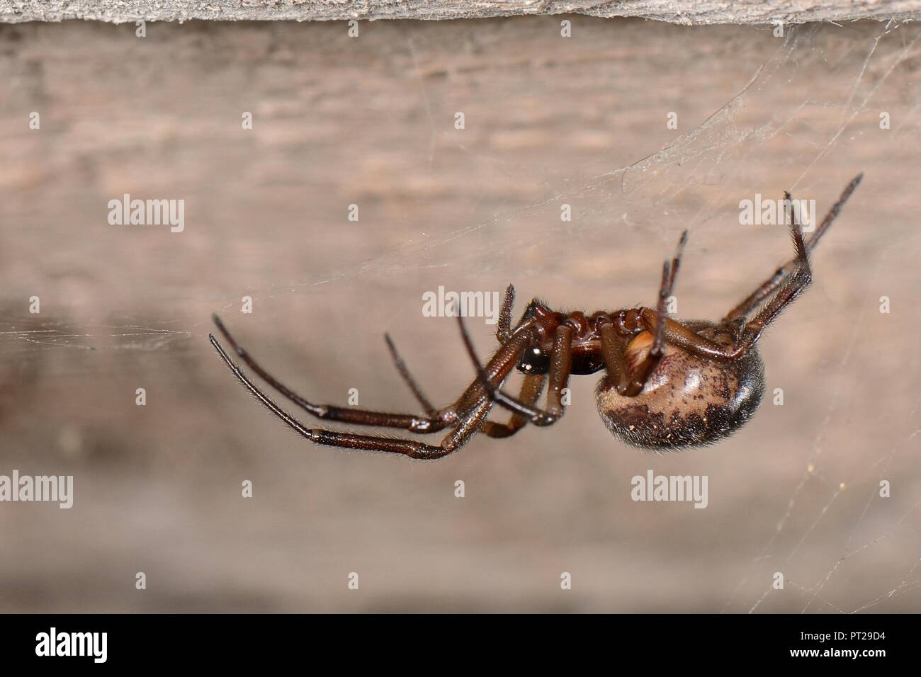False widow spider / Noble false widow (Steatoda nobilis) female, Britain's most poisonous spider on its web in a wood shed, Near Wells, Somerset, UK. - Stock Image