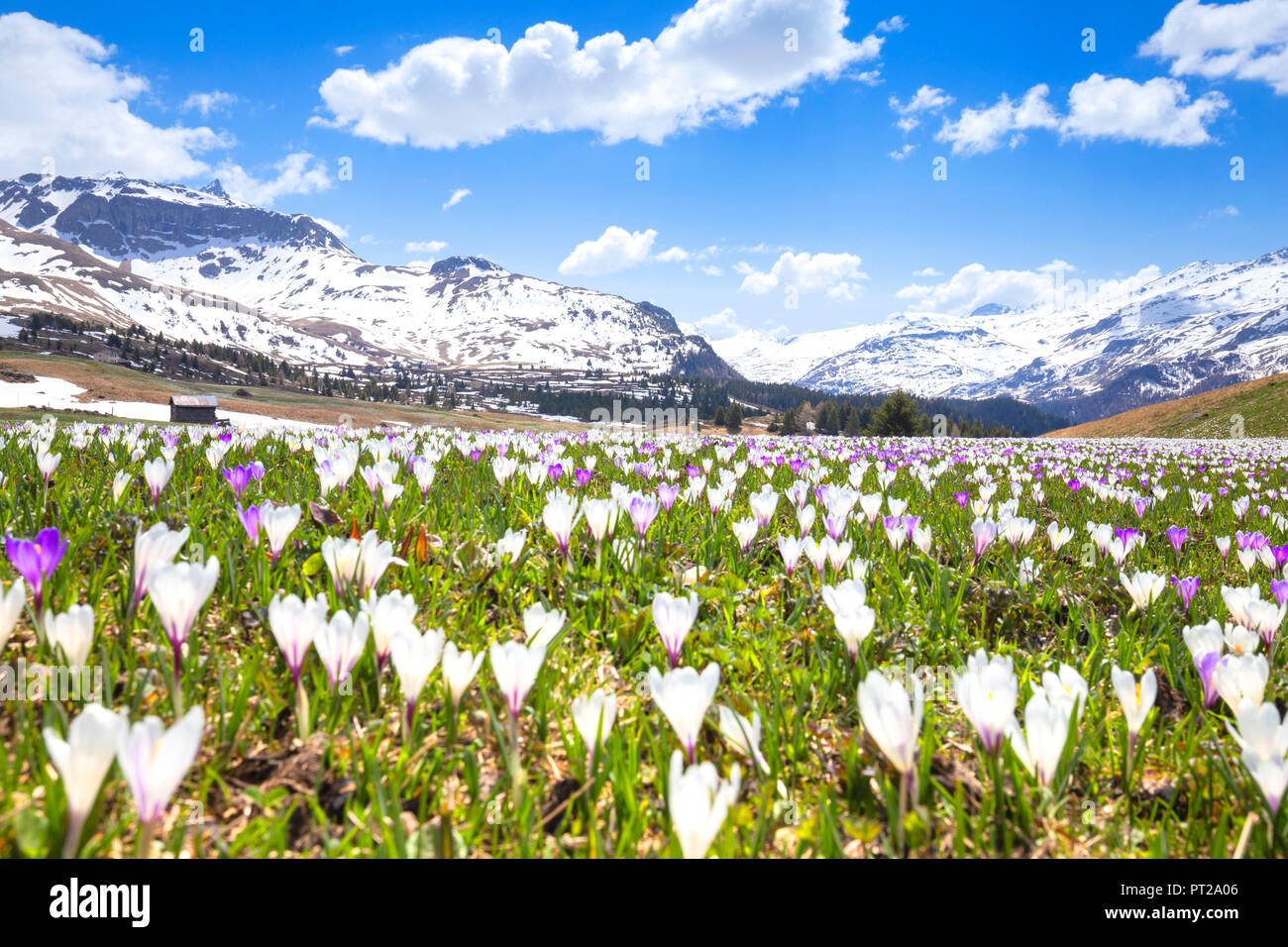 Flowering of Crocus nivea at Alp Flix, Alp Flix, Sur, Surses, Parc Ela, Region of Albula, Canton of Graubünden, Switzerland, Europe, - Stock Image
