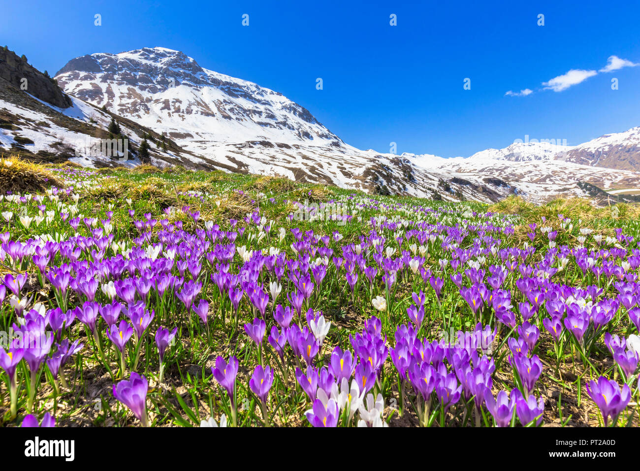 Flowering of purple Crocus nivea at Julier Pass, Parc Ela, Region of Albula, Canton of Graubünden, Switzerland, Europe, - Stock Image