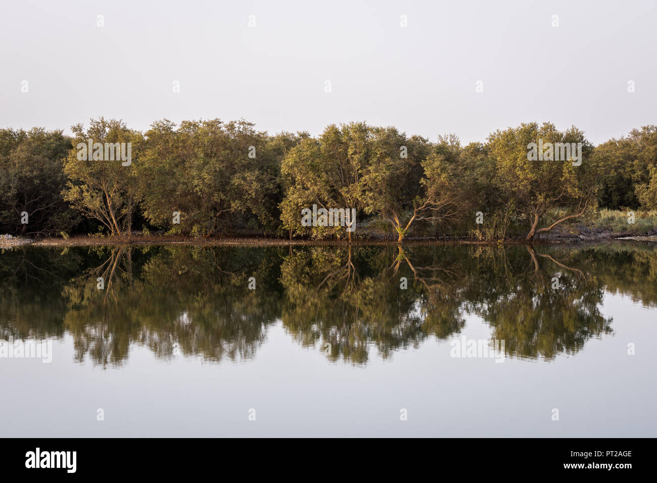 Reflection of Mangrove trees in the water, Abu Dhabi, UAE - Stock Image