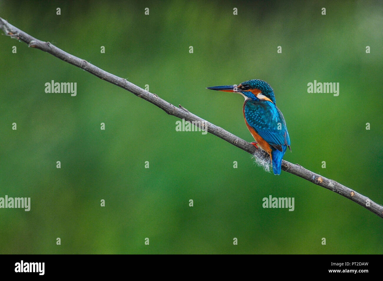Common kingfisher on a twig - Stock Image