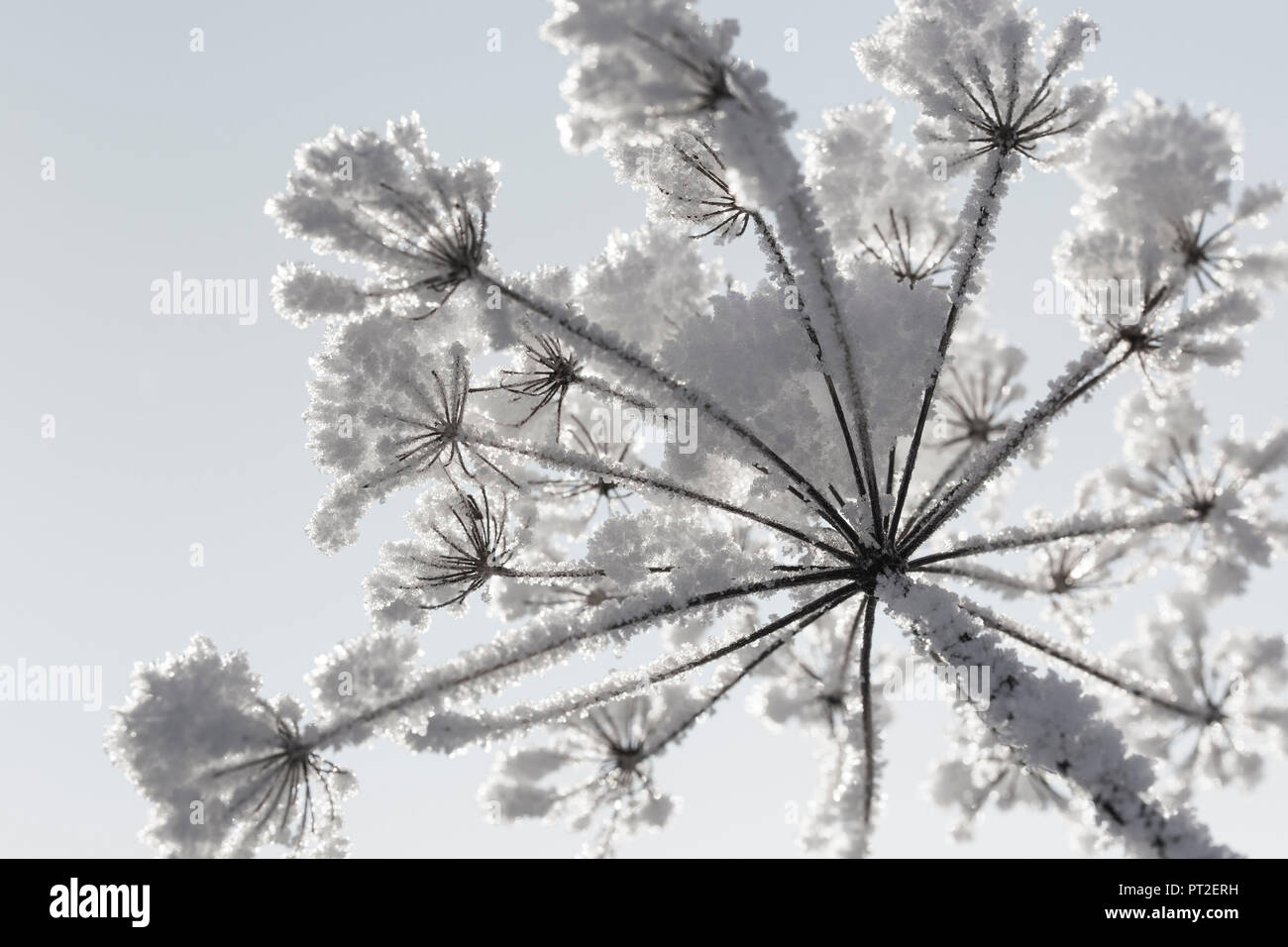 snow-covered flower umbel, worm's eye view, - Stock Image