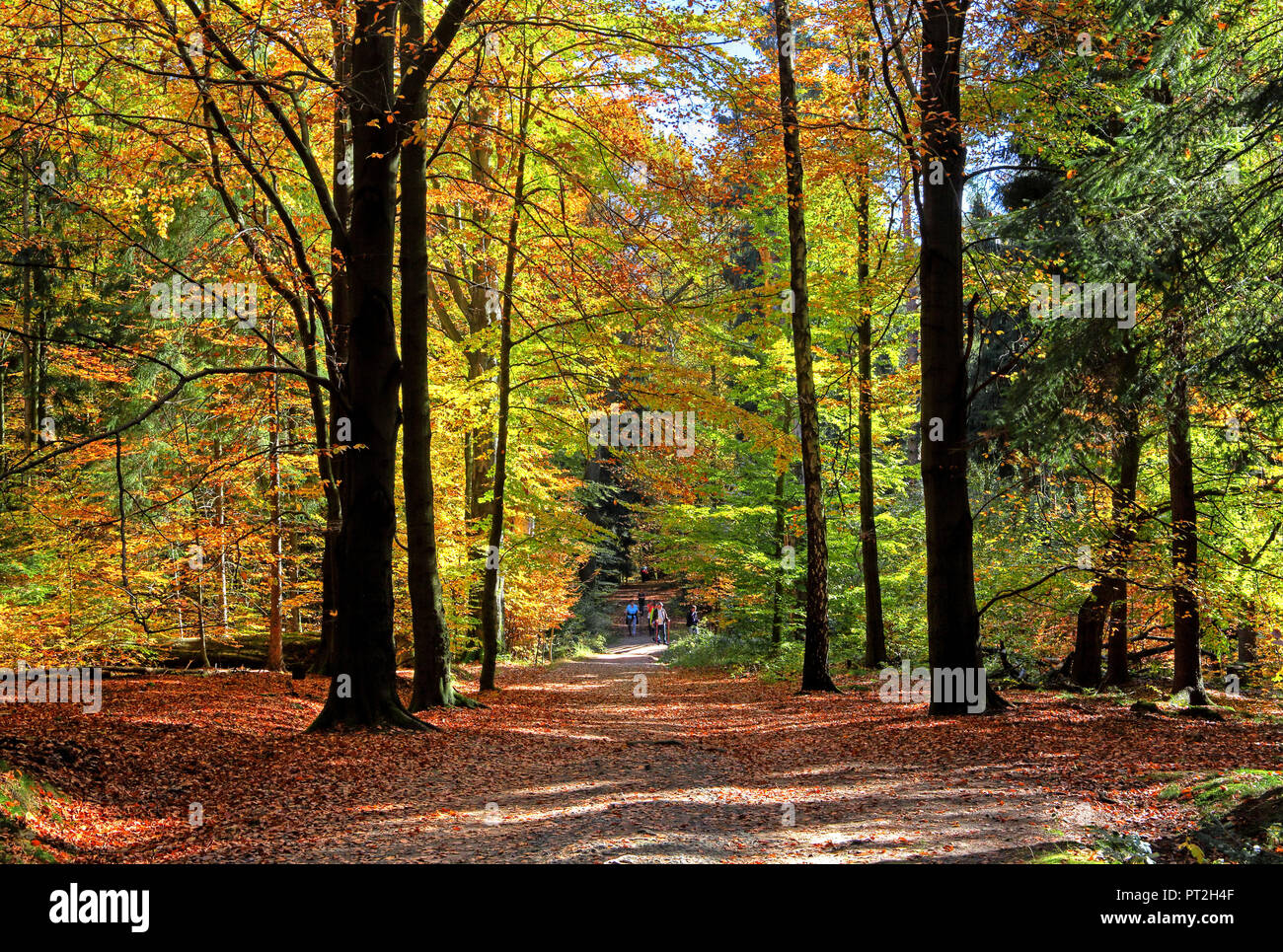 Forest path through beech forest at Hinterhermsdorf, Elbe Sandstone Mountains, Saxon Switzerland, Saxony, Germany Stock Photo