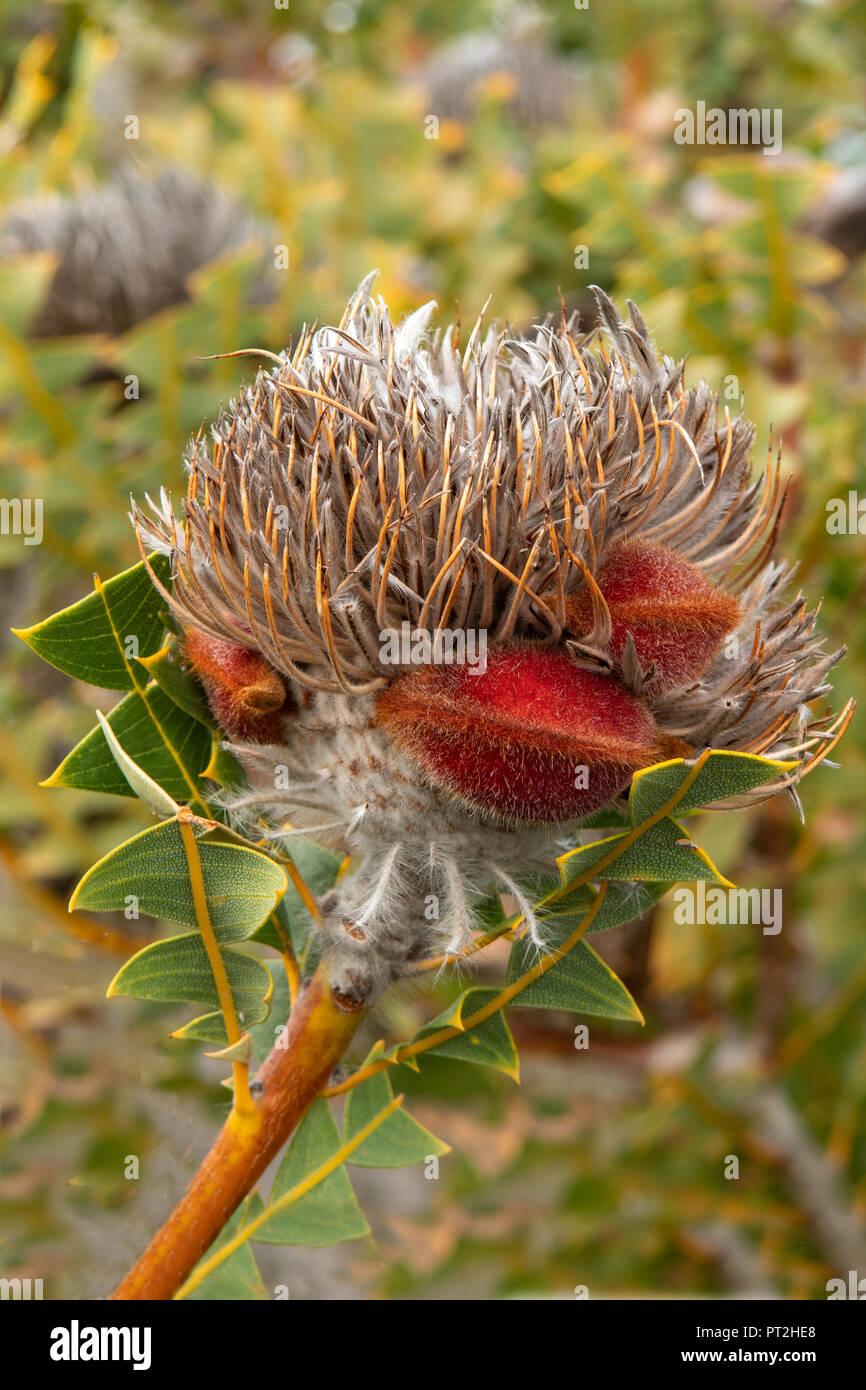 Fruit of Banksia speciosa, Showy Banksia - Stock Image