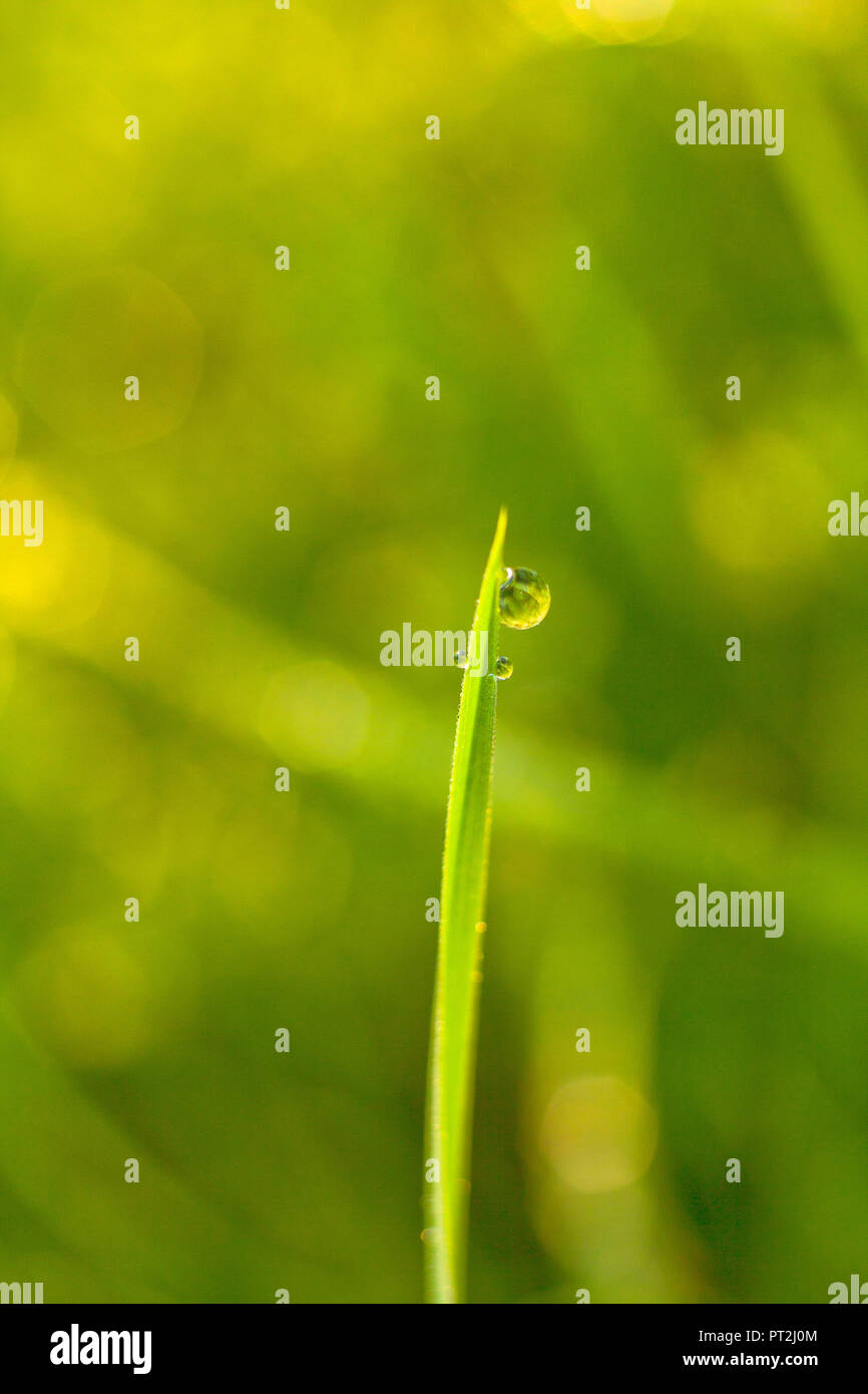 Blade of grass with dew drops - Stock Image