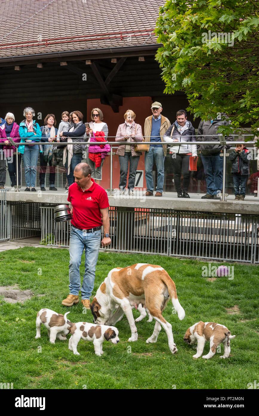 Switzerland, Canton Valais, Rhone Valley, District Martigny, Fondation Barry, Saint Bernard, dogs, breeding, Breeder playing with puppies - Stock Image