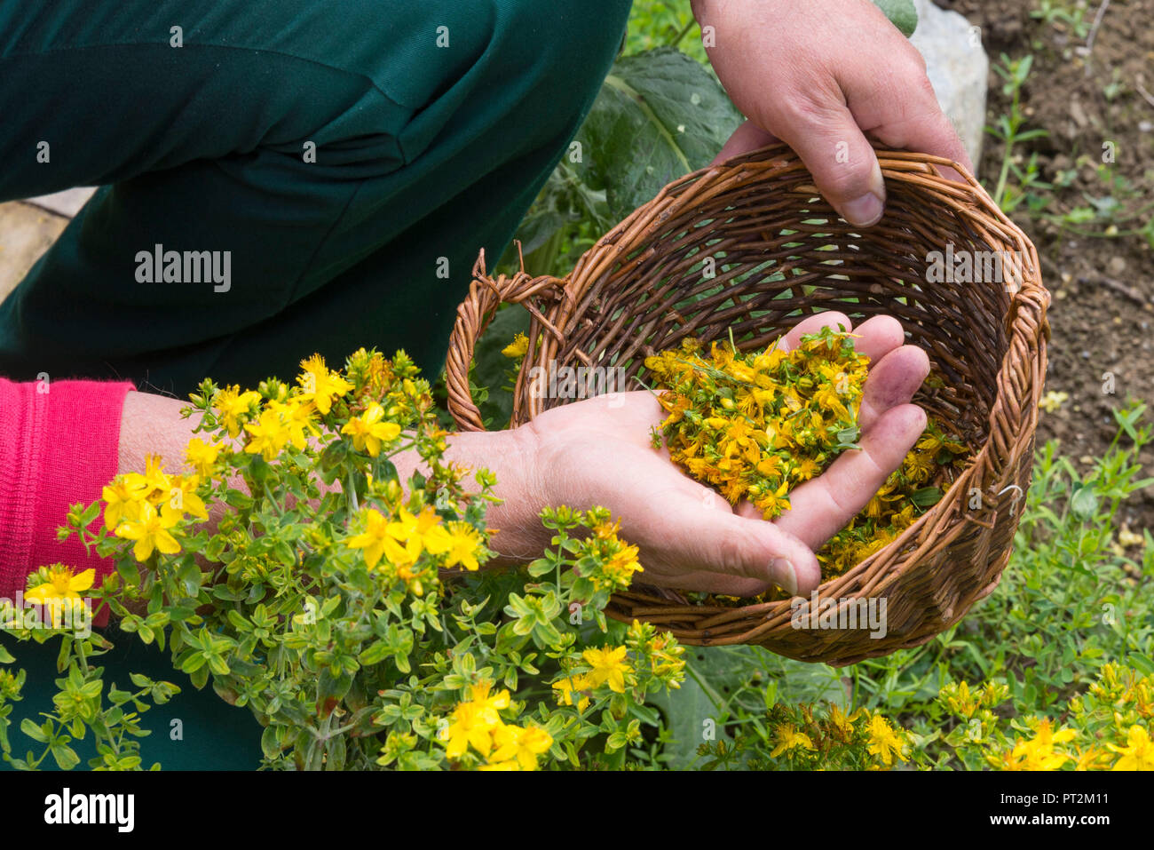 Switzerland, canton Valais, district Leuk, Albinen, medicinal plant garden, book author and herbal expert Thomas Pfister, medicinal herb school, herbal walk, medicinal herbs, herbal class, man holding a basket with herbs in hand, herbs in the palm of his hand - Stock Image