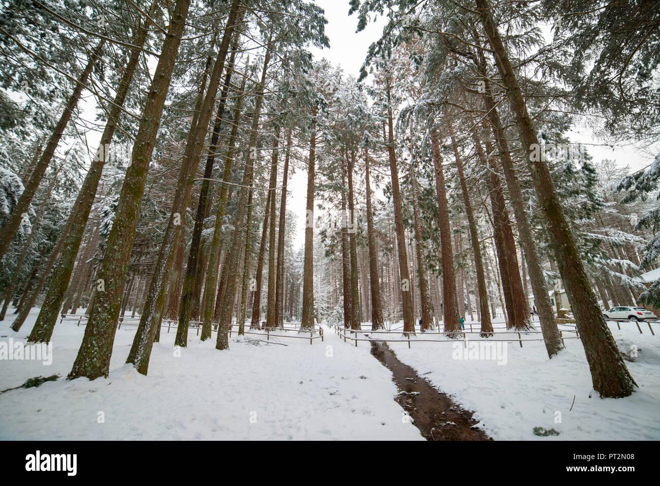 Snow in the forest, Limbara Mountain, Olbia Tempio Province, sardinia, italy, europe, - Stock Image