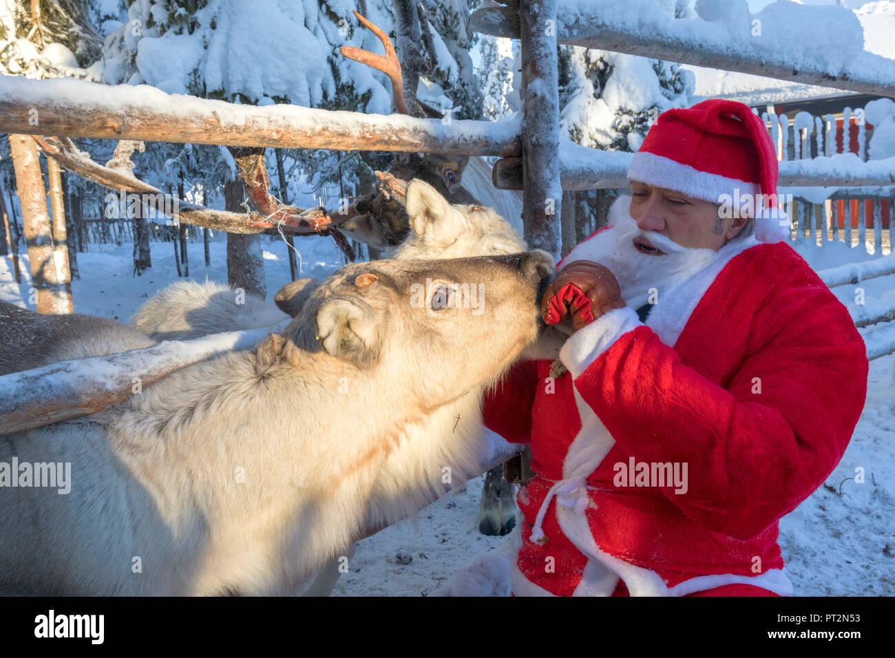 Santa Claus feeding reindeer, Ruka (Kuusamo), Northern Ostrobothnia region, Lapland, Finland - Stock Image