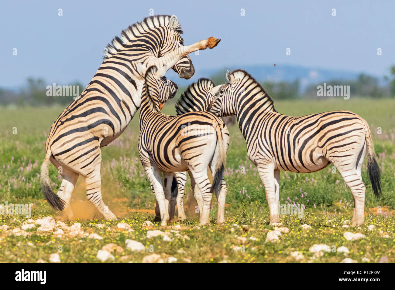 Africa, Namibia, Etosha National Park, burchell's zebras, Equus quagga burchelli, fighting - Stock Image