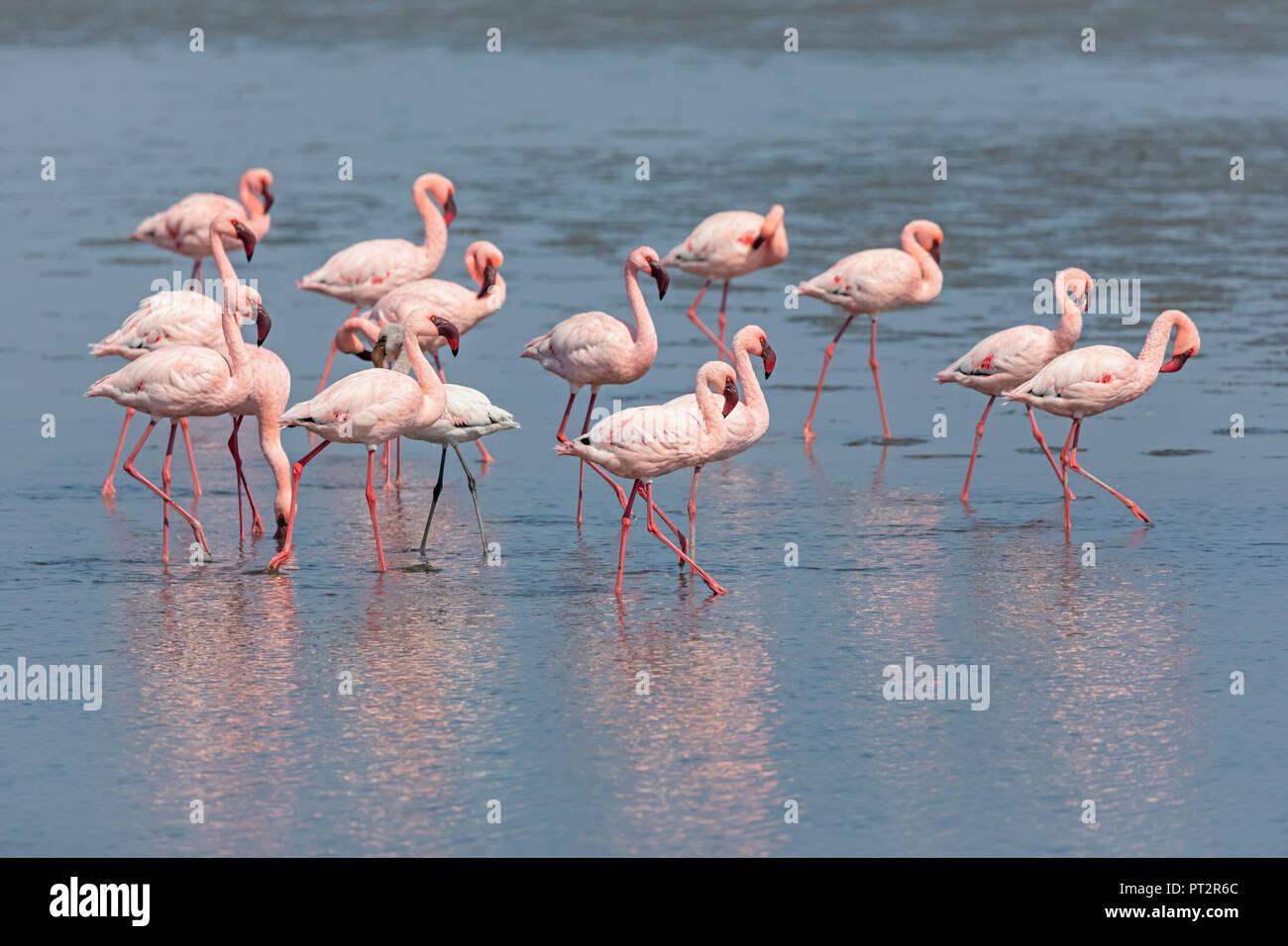 Namibia, Walvis Bay, flock of American flamingos and one Lesser flamingo Stock Photo