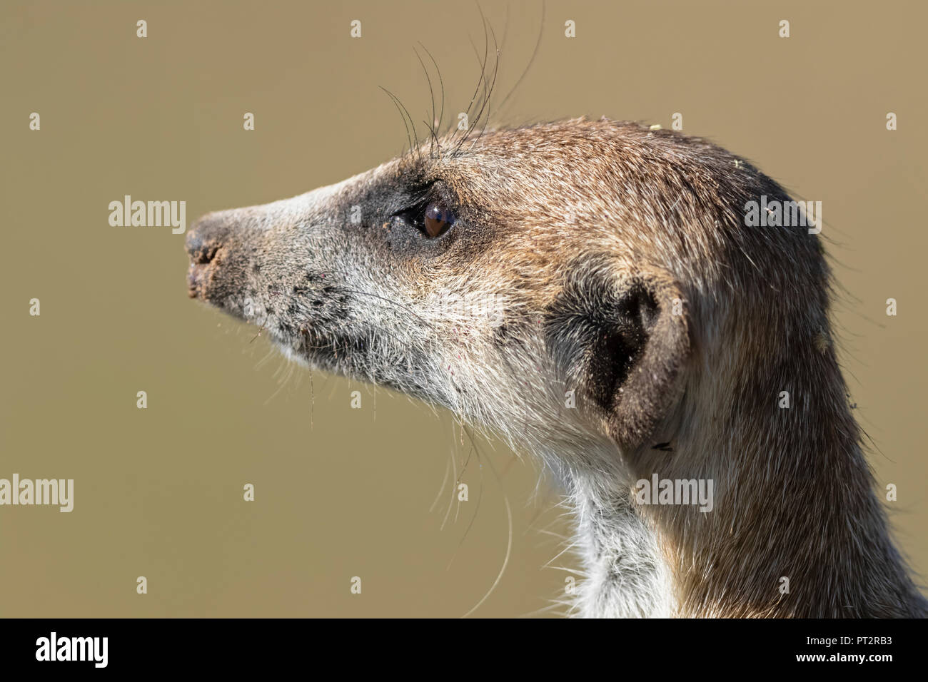 Botswana, Kgalagadi Transfrontier Park, Kalahari, Portrait of meerkat, Suricata suricatta - Stock Image