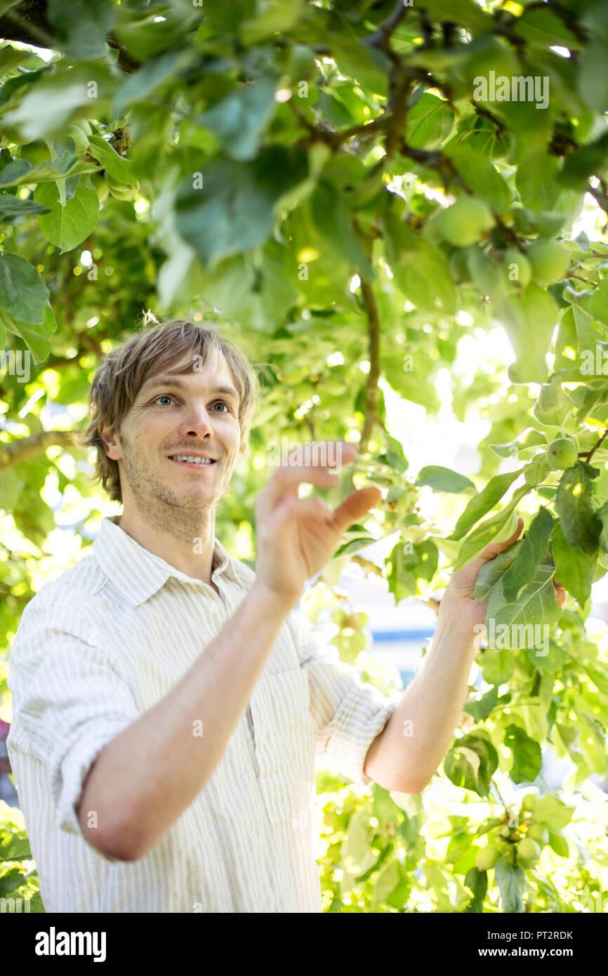 Man watching green apples at apple tree - Stock Image