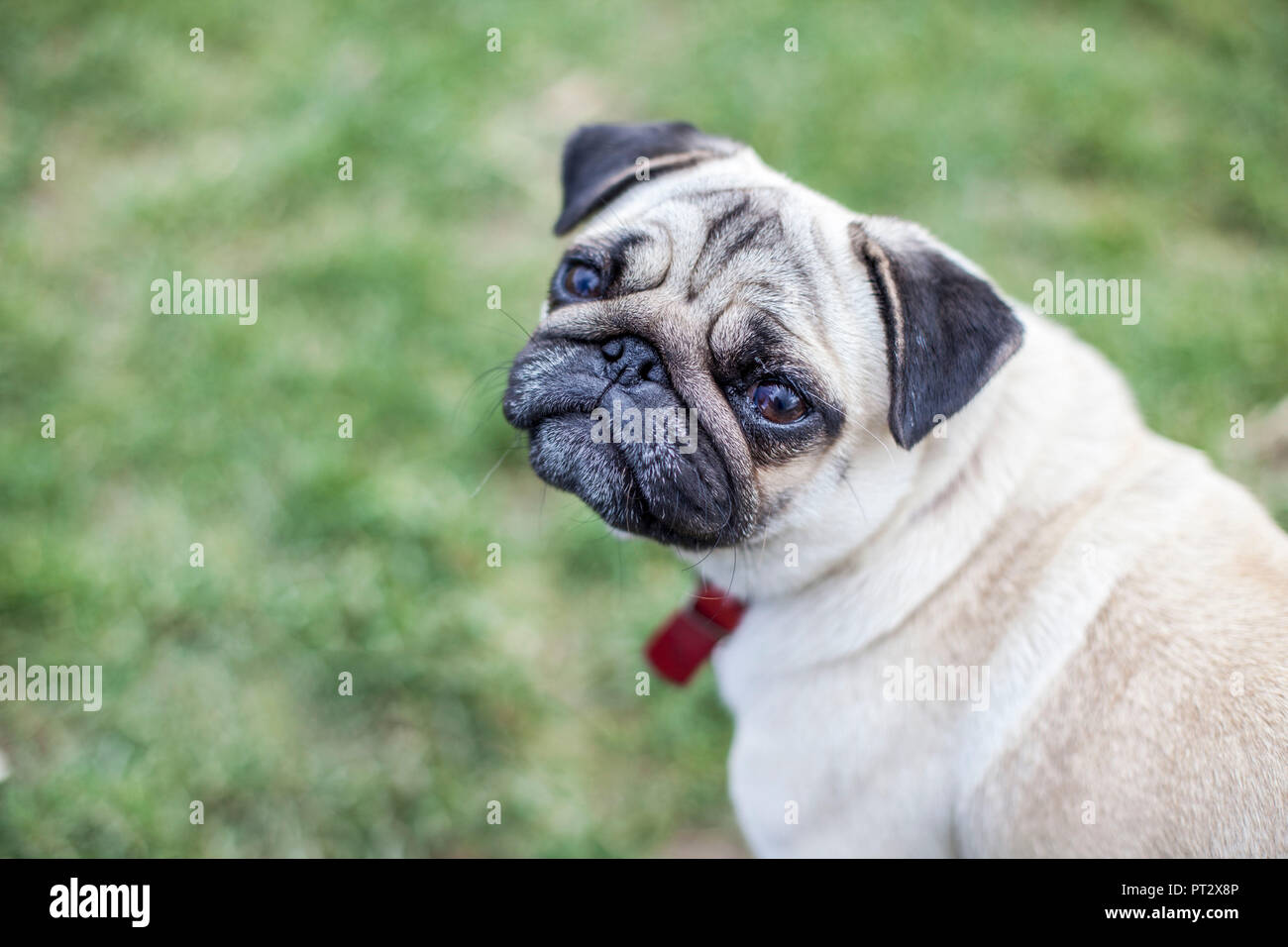 A pug sitting in a meadow and looking into the camera - Stock Image