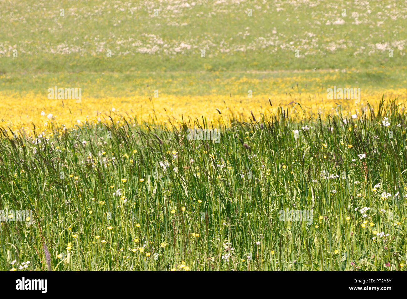 Summery meadow in yellow - Stock Image