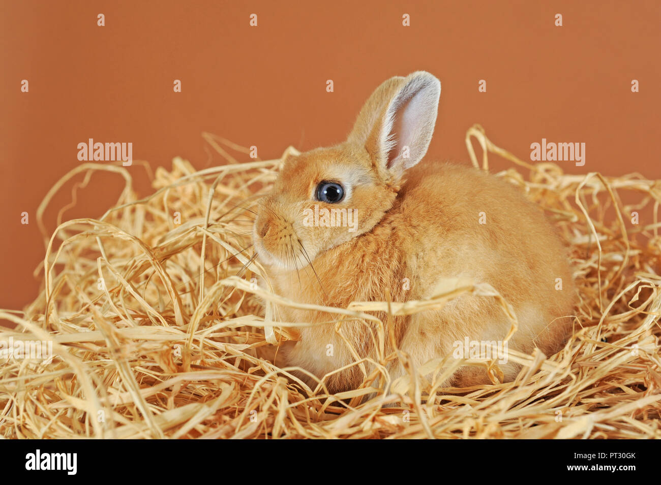 Dwarf rabbit, brown, young animal in straw, Austria - Stock Image
